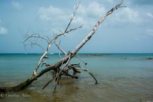 Tree at Choc Bay