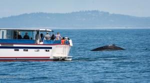 Humpback whale sighting