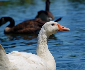 White Goose on the American River