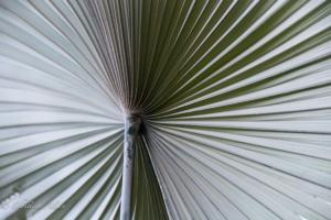 Fan palm denver botanical garden allan