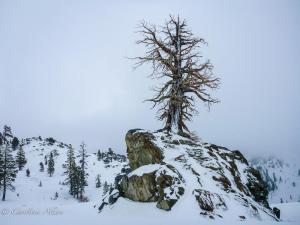 Squaw Valley Juniper, Sierra Nevada