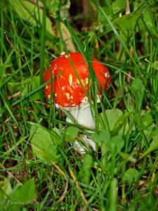 Wild Red Mushroom in Alaska