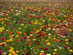 Field of Flowers at Carlsbad