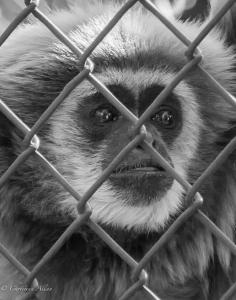 Caged captive White-handed gibbon sacramento zoo black and white allan DSC 0771