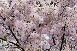 Cherry blossoms victoria b.c. canada allan 1039