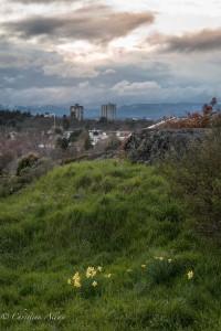 Daffodils view moss rock park victoria b.c. canada allan 1076