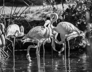 Flamingos black and white sacramento zoo allan captive 1348