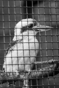 Kookaburra sacramento zoo black and white allan 1399