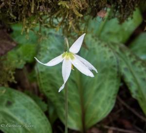 Lily Goldstream Provincial Park victoria b.c. canada allan 0910