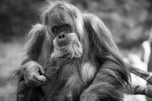Orangutan black and white sacramento zoo allan caged captive 1282