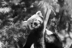Red panda sacramento zoo black and white allan-1457