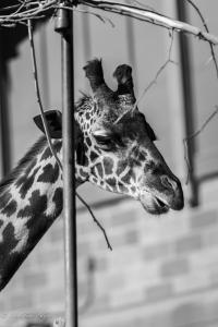 Reticulated giraffe sacramento zoo black and white allan captive 1306-2
