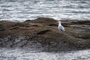 Seagull victoria b.c. canada allan 0987