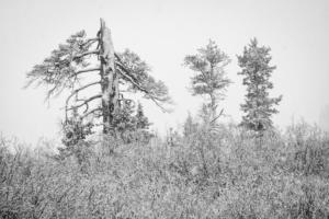 Trees snowstorm-7935