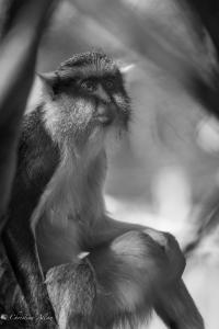 Wolfs Guenon black and white sacramento zoo allan caged captive 1289-2