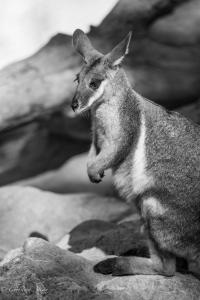 Yellow-footed wallaby sacramento zoo captive allan 1355