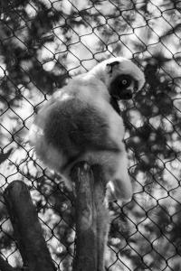 coquerels sifaka sacramento zoo allan 1573