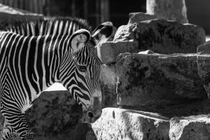 grevy's zebra black and white sacramento zoo allan captive caged -1294