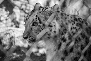 snow leopard shoot-1315-2